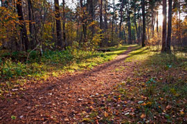 Dirt Path in a Forest